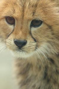 ネコ好きにはたまりません。生まれて2カ月半の赤ちゃんチーターにメロメロ(東京、多摩動物園) - 旅プラスの日記