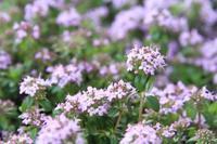 お花のカーペットのようなタイム - 神戸布引ハーブ園 ハーブガイド ハーブ花ごよみ