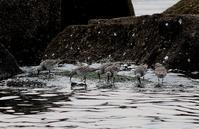 浜辺で夏羽のオバシギを・・・ - 一期一会の野鳥たち