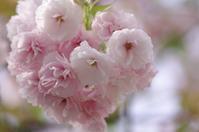 八重桜 - 生きる。撮る。