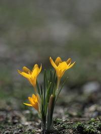 早春再び~クロッカス~ミズバショウ~フクジュソウ - きまぐれ花旅