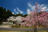 桜便り2017 京北町の桜巡り@東光寺の桜 - デジタルな鍛冶屋の写真歩記