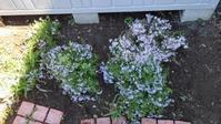 芝桜の移植 - うちの庭の備忘録 green's garden