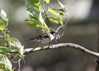 MFの森は アトリが増えていました。 - 私の鳥撮り散歩