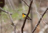 信濃のキビタキ - 鳥見って・・・大人のポケモン