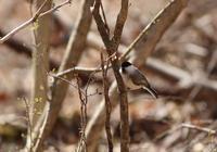芽吹きのコガラ - 鳥見って・・・大人のポケモン