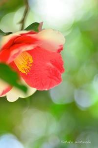 椿 岩根絞(いわねしぼり) - 今日の小さなシアワセ