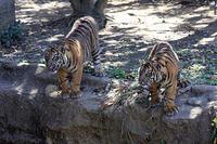 遊び続けるスマトラトラっ子 - 動物園放浪記