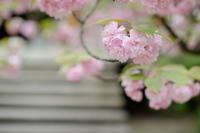 牡丹桜  /  ZHONG YI OPTICS SPEEDMASTER 35mm F0.95 II - HarQ Photography