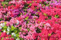 つつじ - 風景写真家 鐘ヶ江道彦のフォトブログ
