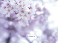 河口湖の桜 - Photographie de la couleur