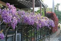 散歩道の藤の花と・送られてきたネモフィラの写真(^^♪ - 自然のキャンバス