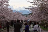京のさくら2017 4月9日桜めぐり 前編 - ぴんぼけふぉとぶろぐ2