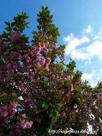 青空の下八重桜を愛でる - 丁寧な生活をゆっくりと2
