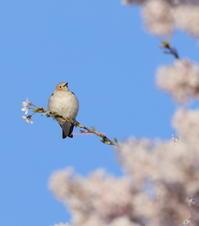 コムクドリがやって来た(^^) - 小鳥との軌跡2