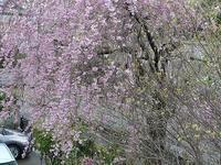 枝垂れ桜 - 趣味の部屋0074