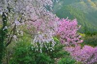 山里の桜 3 - 天野主税写遊館