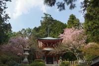 鞍馬寺多宝塔の桜 - 日本写真かるた協会~写真が好きなオッサンのブログ~