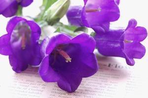 カンパニュラの花言葉は「思いを告げる」、Klein Dytham architecture - *Flower Essence*