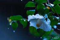 雨の白椿... - ◆Akira's Candid Photography