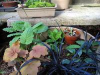 養生鉢が新芽でにぎわう - リリ子の一坪ガーデン