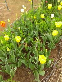 イモ類植えつけ - ミジンコ農園