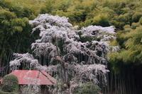 4月19日 福島の桜 その2(午後) - てしやから君の撮影日記