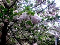 ☆ポンポン桜の道・花と若葉の嬉しい季節☆ - ガジャのねーさんの  空をみあげて☆ Hazle cucu ☆