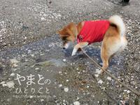 柴犬連れて、磯遊び@愛知県南知多町 【動画あり】 - yamatoのひとりごと