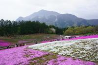 羊山公園・・・芝桜の丘 - 写真生活そのままに