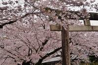 姫路城のお堀をぐるっと桜巡り(4)姫路神社に立ち寄ります - たんぶーらんの戯言