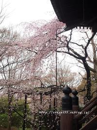 真如堂の桜 - 京・街・さんぽ
