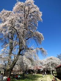 4月23日 * 佐久・長野牧場の桜が満開でした♡ - ぴきょログ~軽井沢でぐーたら生活~