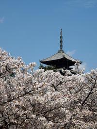 京都のお花見散歩 ~仁和寺~ (撮影:4月15日) - ご無沙汰写真館