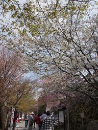 京都のお花見散歩 ~大原三千院~ (撮影:4月16日) - ご無沙汰写真館