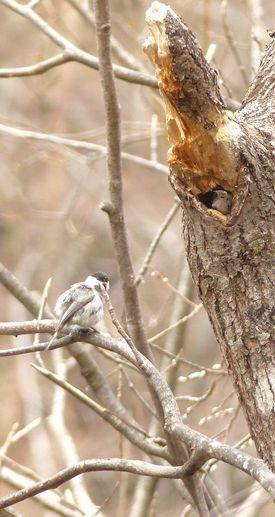 コガラ - 多摩子の鳥見・散歩