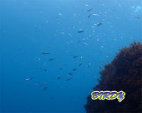 ジャパニーズピグミーシーホース - 三宅島バーディLOGのページ