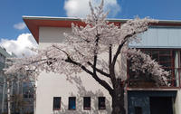 弘前に桜咲く季節が、来た~! - TSUGARUNN ZU PHOTO