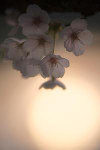 桜 夕照 - ぽとすのくずかご