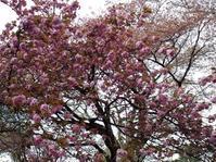 公園で八重桜 - ないものを あるもので