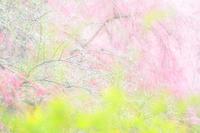 原谷苑のお花達〜三段落ち?〜 - *PHOTOMOMIN*