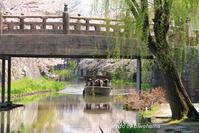 湖国桜・心のふるさと八幡堀の春 - 「古都」大津 湖国から