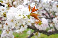 桜の終わりと、山菜の恵み - 暗 箱 夜 話 【弐 號】