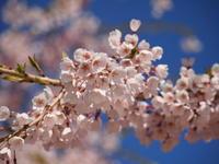 八ヶ岳南麓 の 桜情報 その2 - 八ヶ岳 革 ときどき くるみ