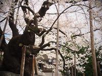 中津川沿いの桜 - morioka暇人日記2
