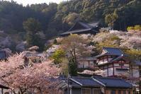 桜の長谷寺 - ぶらり休暇