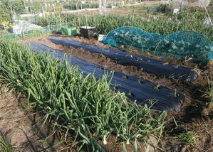 春野菜の植え付け色々 - ブルーベリーの育て方& 栽培 ブルーベリー ノート BlueBerryNote