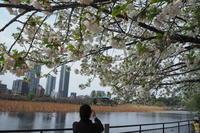 上野の桜 - Free Shot ほっと一息