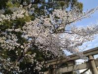 一人でも楽しめた今年の桜満開 - 向井恭一 の exciteブログ