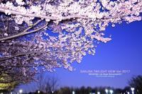 桜Ver.2017 近所編 [SAKURA TWILIGHT] - WEEKEND Life Style shirocha0051